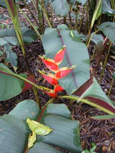 Heliconia 4_opt.jpg